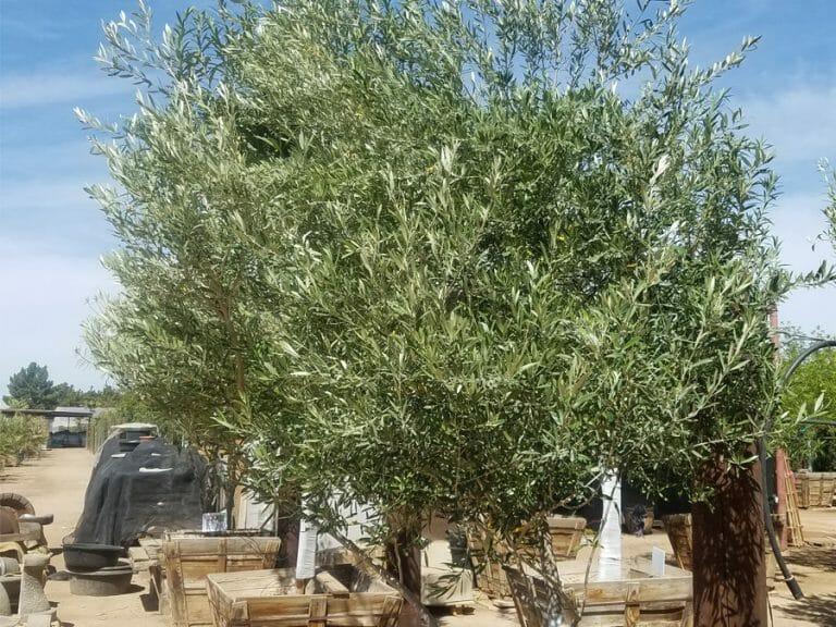 Fruitless Olive Edgewater Design Company